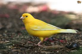 Finch and Canary Diseases